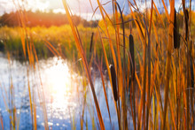 Autumn Landscape With Cattail On The Lake In The Sunlight.