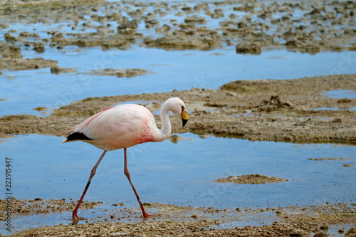 James's Flamingo walking in the Shallow Water of Laguna Hedionda, The Saline Lake in Andean Altiplano, Potosi, Bolivia