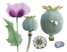 Opium Poppy, Papaver Somniferu...