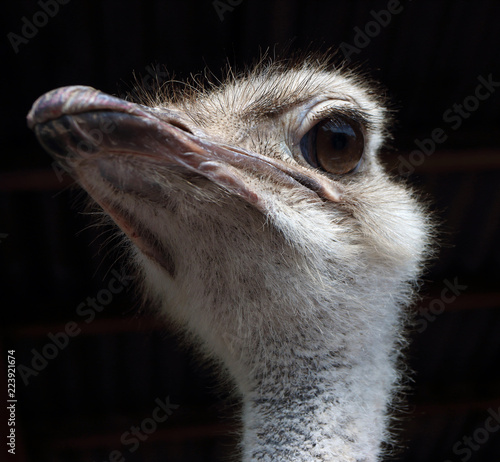 La pose en embrasure Autruche Common ostrich (Struthio camelus L.) portrait at an agricultural show