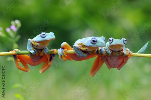 Flying frog on branch, tree frog, Javan tree frog