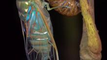 An Adult Cicada Has Just Emerg...