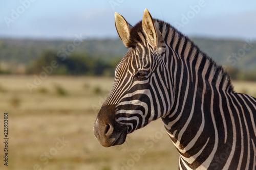 Tuinposter Zebra Zebra standing and thinking