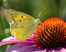 Clouded Sulpher Butterfly Feeding On Purple Coneflower, Wings Up