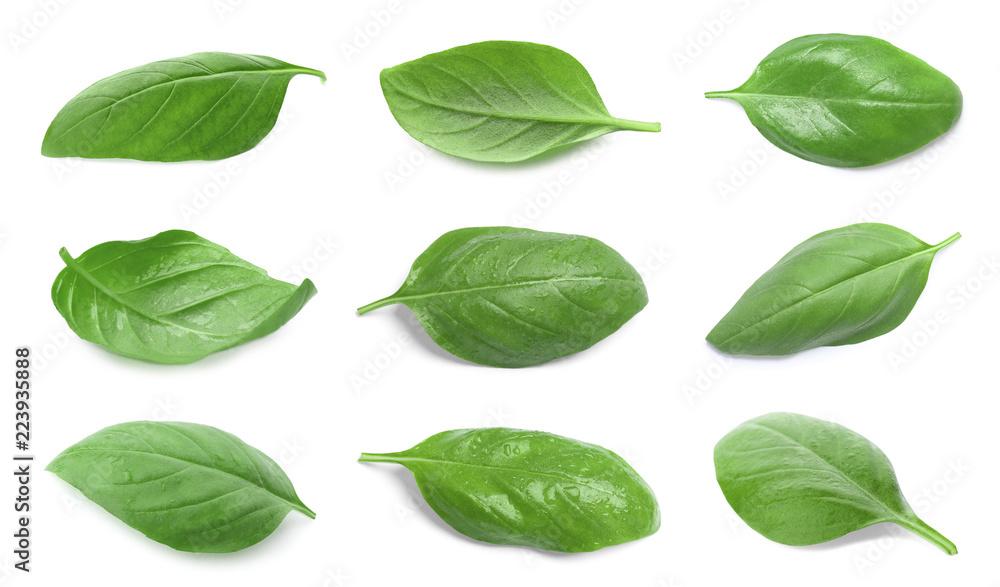 Fototapety, obrazy: Set with green fresh basil leaves on white background