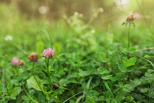 Meadow with green grass and blooming clover, closeup