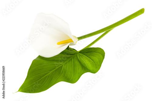 Fototapeta  Beautiful flower and green leaf calla isolated on white background