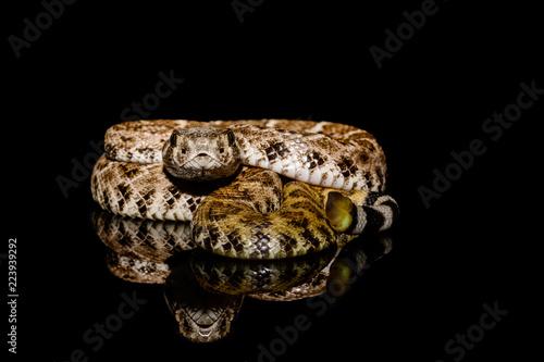 western diamondback rattlesnake or Texas diamond-back (Crotalus atrox) on solid black background