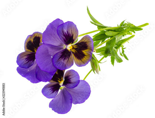 Viola tricolor var. hortensis on white background
