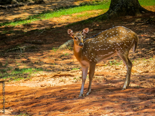 Fotobehang Hert deer in the woods