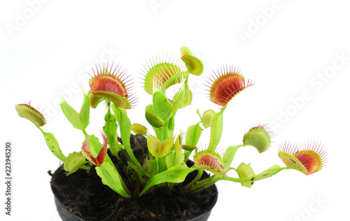 Carta da parati close up on venus flytrap isolated on white background