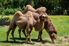 Bactrian Camels Grazing