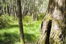 Rough Bark On Tree Trunks With Australian Bushland Behind