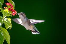 Hummingbird In Nature