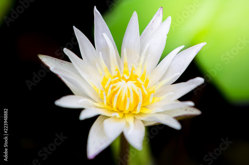 Foto op Canvas Lotusbloem beautiful white lotus bloom