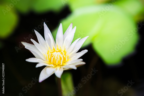 Staande foto Lotusbloem beautiful white lotus bloom