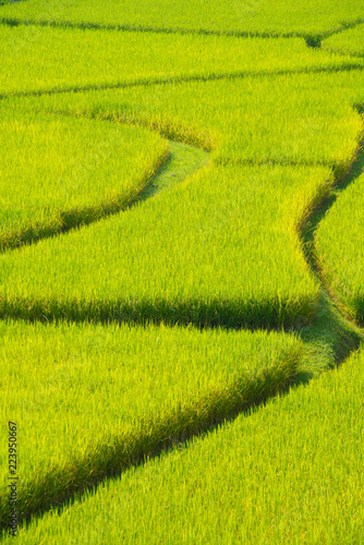 Green Terraced Rice Field in Nan, Thailand.