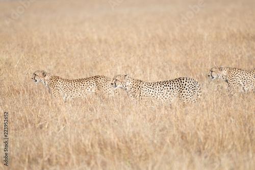 Cheetah in Masai Mara, Kenya. Canvas Print