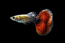 Guppy Fish Isolated On Black Background (Poecilia Reticulata)