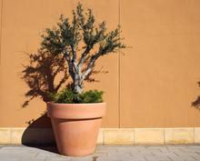 Decorative Olive Tree In A Planter Pot
