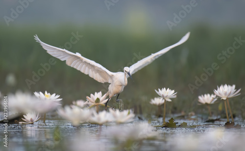 Little Egret with flowers Canvas Print