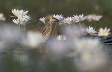 Indian Pond Heron With Flowers