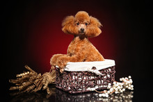 Poodle In Wicker Basket