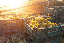 Grape Harvesting On Vineyards. Early Morning With Bright Sunlight. Boxes Full Of Freshly Picked Grapes On The Truck.