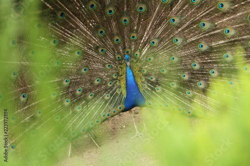 peacock in green