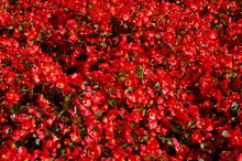 Background Of Small Red Flowers With Green Leaves