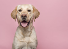 Portrait Of A Blond Labrador Retriever Dog Looking At The Camera With Mouth Open Seen From The Front On A Pink Background