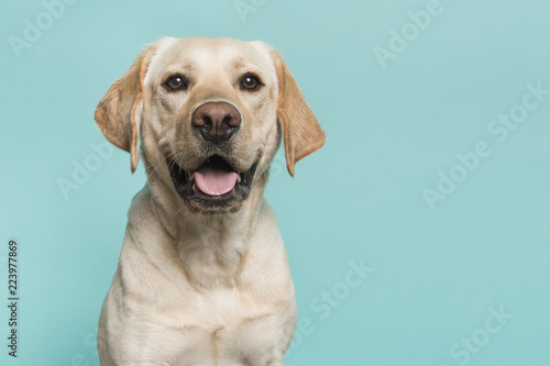 Spoed Foto op Canvas Hond Portrait of a blond labrador retriever dog looking at the camera with mouth open seen from the front on a blue turquoise background