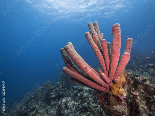 Foto op Canvas Onder water Seascape of coral reef / Caribbean Sea / Curacao with big tube sponge