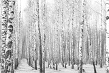 Black and white photo of black and white birches in birch grove with birch bark between other birches - 223983486