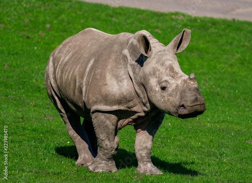 Fotobehang Neushoorn Rhino Calf