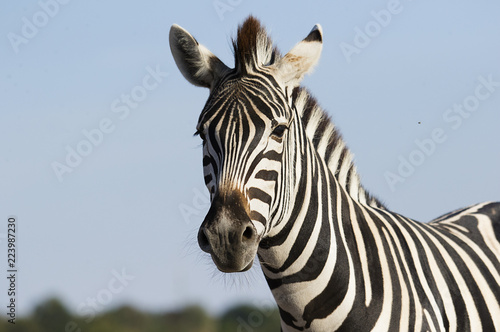 Poster de jardin Zebra muzzle of a zebra against the sky