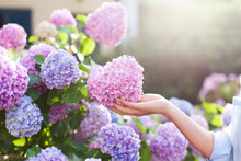 Gardening In Bushes Of Hydrangea. Girl`s Hand Touches Bunch In Country Garden. Flowers Are Pink, Blue And Blooming In Town Street At Sunset Or Sunrise. Woman Is Gardener And Florist.