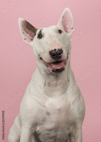 Fototapeta Portrait of a cute bull terrier looking at the camera on a pink background