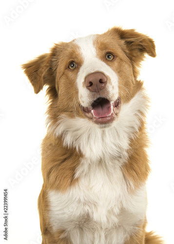 Portrait of a EE-red border collie dog on a white background Wallpaper Mural