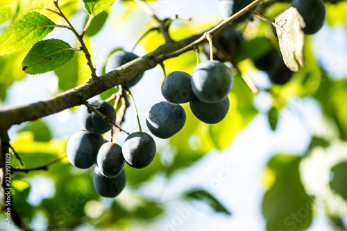 Photo  blue blackthorn fruits on branches in garden