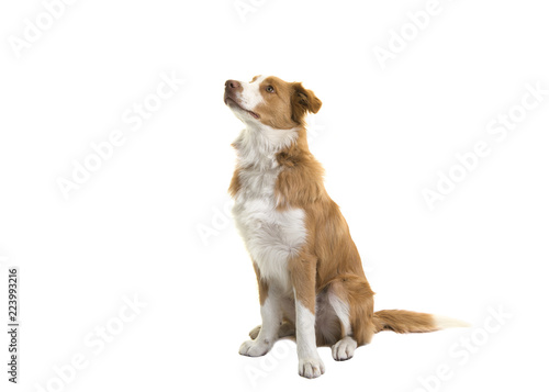Fotografía Sitting red border collie dog looking up on a white background