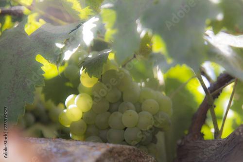 Fotografía  uvas blancas en hojas al sol