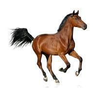 Bay Saddle Stallion Isolated