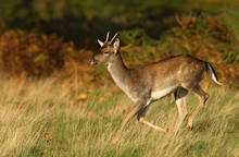 Close Up Of A Young Fallow Dee...