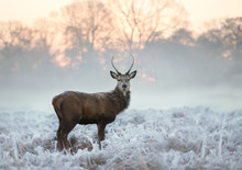 Young Red Deer Standing On A Cold Winter Morning