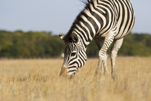Zebra Eat Grass