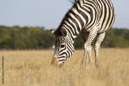 Poster Zebra Zebra eat grass