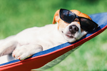 Jack Russel Terrier Dog Lies O...