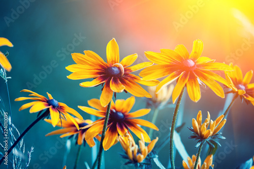 Black-eyed Susan Flowers in the garden at sunset Fototapeta