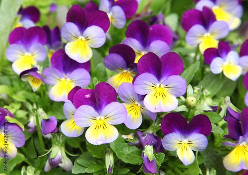Deurstickers Pansies Fleurs de Viola cornuta